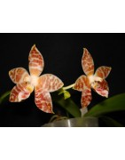 The botanicals Orchids