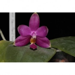 Flask Phalaenopsis Princess...