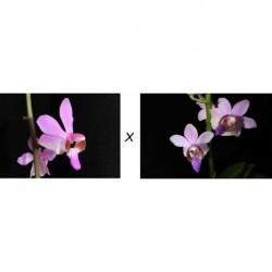 Flask Phalaenopsis...
