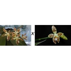 Phalaenopsis sumatrana var...
