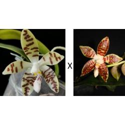 Phalaenopsis sumatrana V x H