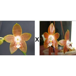 Phalaenopsis Venosa P x...