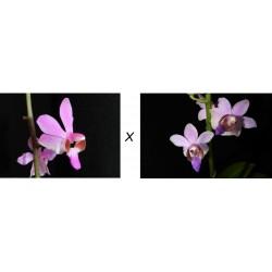 Phalaenopsis Pulcherrima x...