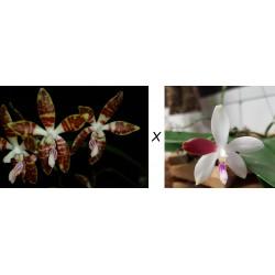 Phalaenopsis sumatrana x...