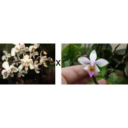 Phalaenopsis celebensis x...