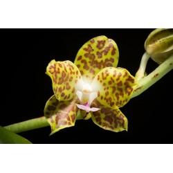 Phalaenopsis hygrochila