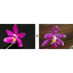 "Phalaenopsis Pulchra ""KAZCAM"""