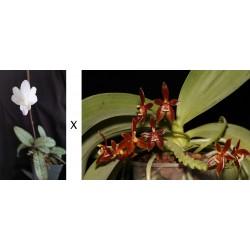 Phalaenopsis cornu-cervi...