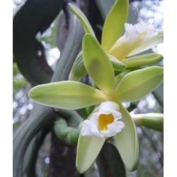 Vanilla chamissonis