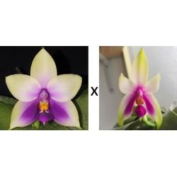 Phalaenopsis Bellina...