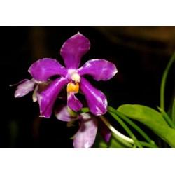 Flacon Phalaenopsis pulchra...