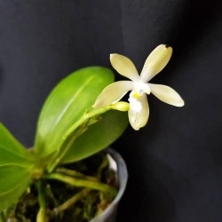 Phalaenopsis pallens alba