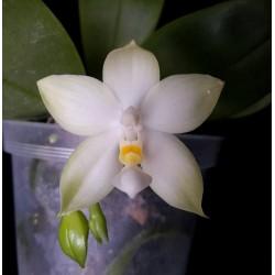 Phalaenopsis Bellina alba
