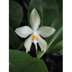 Phalaenopsis micholitzii