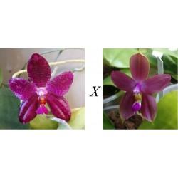 Flask Phalaenopsis Mok Choi...