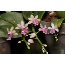 Flask Phalaenopsis deliciosa
