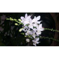 Phalaenopsis purple gem...