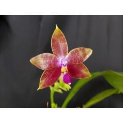 Phalaenopsis Bellina x...