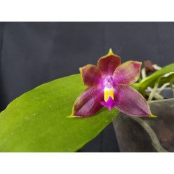Phalaenopsis (Chienlung Red...
