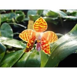 Phalaenpsis amboinensis x...