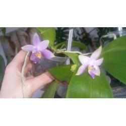 flask Phalaenopsis violacea...