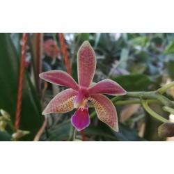 Phalaenopsis equestris x...