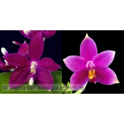 Phalaenopsis speciosa x...