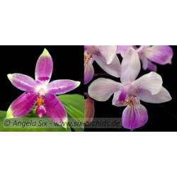 Phalaenopsis Germaine...
