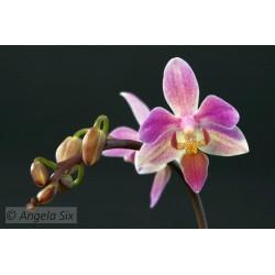 Phalaenopsis Rainbow chip...